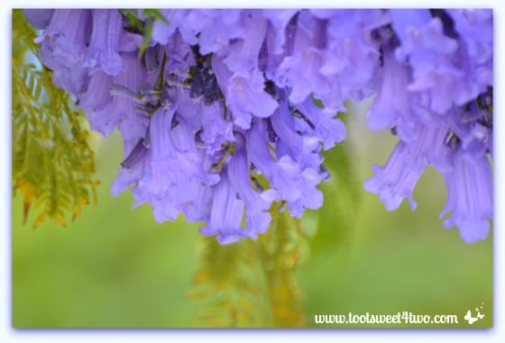 Jacaranda tree branch with blossoms - Ant Bait
