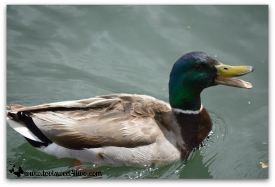 Mallard quacking on Temecula Pond - Things I've Learned in 2 Years of Blogging