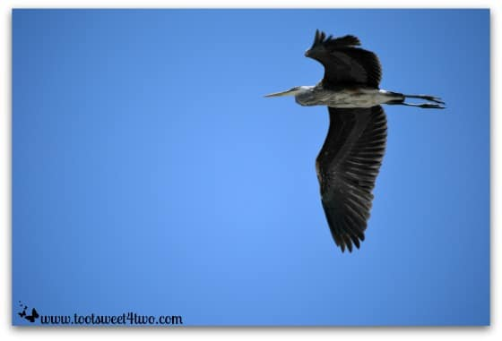 Great Blue Heron in the sky - Oceanside Harbor