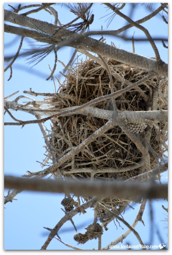 Great Blue Heron nest - Oceanside Harbor