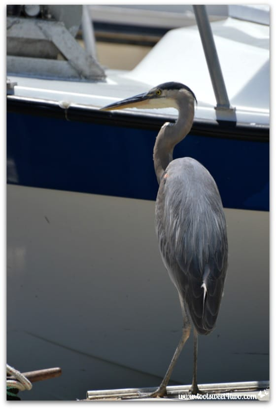 Great Blue Heron on the dock - Oceanside Harbor
