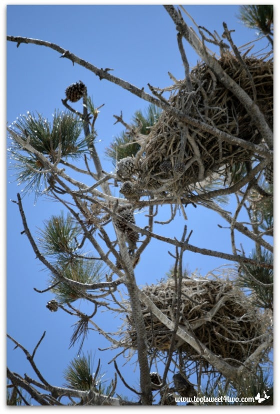 Massive Great Blue Heron nests  - Oceanside Harbor