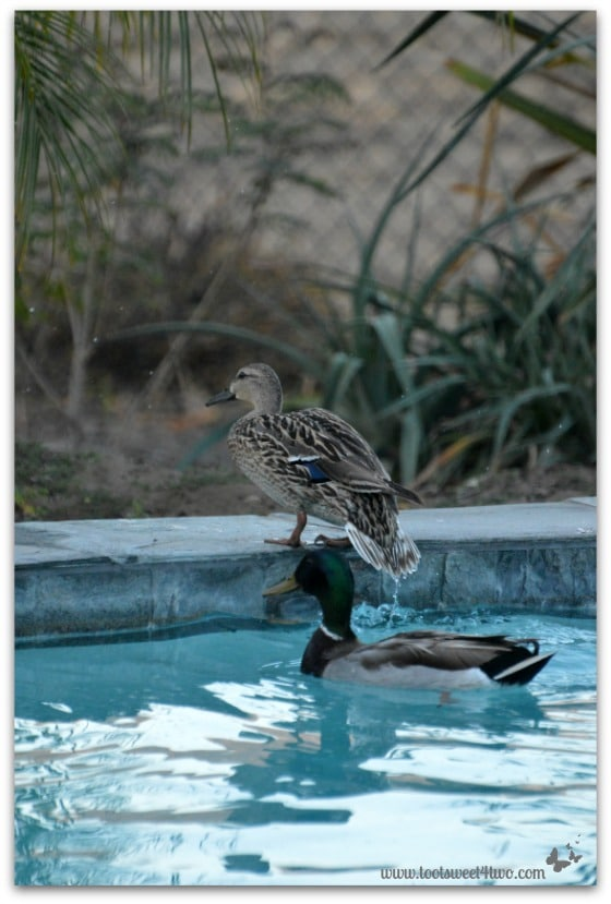 Pic 10 - Female duck getting out of pool - Paradise Found