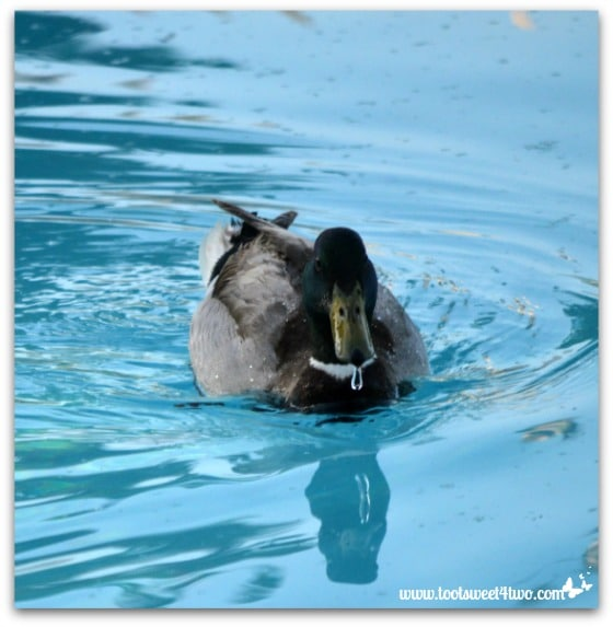 Pic 14 - Water droplet on Mallard's beak close-up - Paradise Found