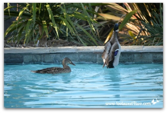 Pic 15 - Mallard getting out of pool - Paradise Found