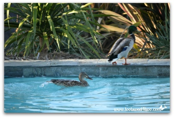 Pic 16 - Mallard out of pool and female duck's wake - Paradise Found