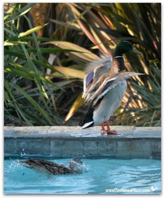 Pic 19 - Mallard flapping wings forward - Paradise Found