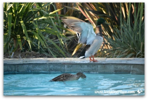 Pic 20 - Mallard flapping wings - Paradise Found