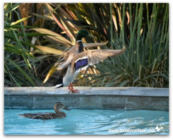 Pic 21 - Mallard spreading wings - Paradise Found