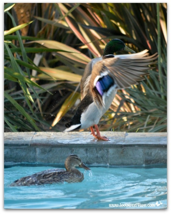 Pic 22 - Mallard wings flapping forward - Paradise Found