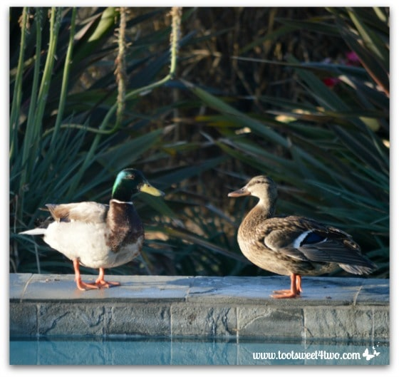 Pic 24 - Mallard drake and female duck resting on the ledge of my pool - Paradise Found