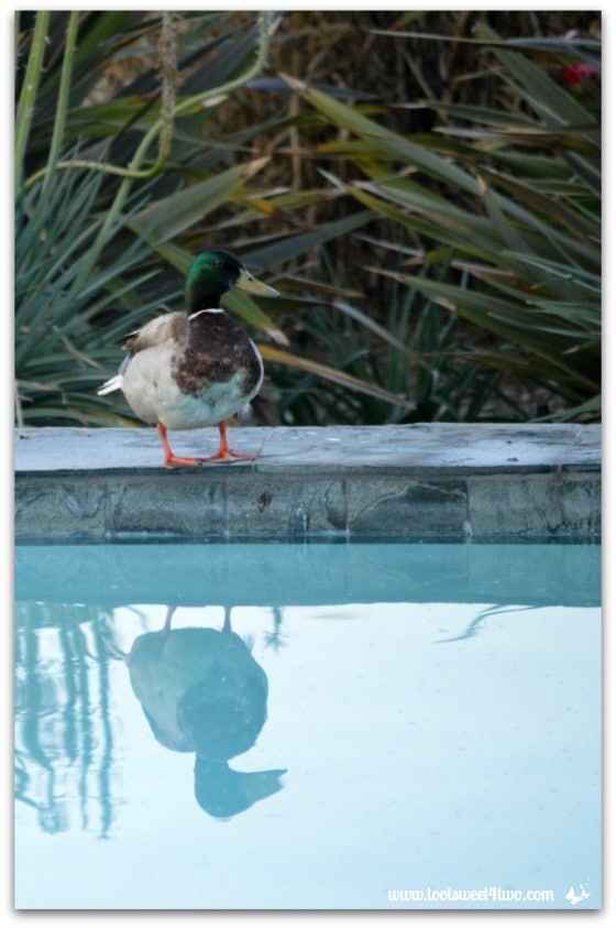 Pic 3 - Mallard at the edge of my pool - Paradise Found