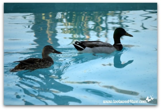 Pic 6 - A pair of ducks in my pool - Paradise Found