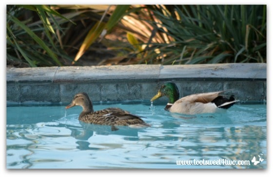 Pic 8 - Rivers of droplets streaming from ducks' beaks - Paradise Found