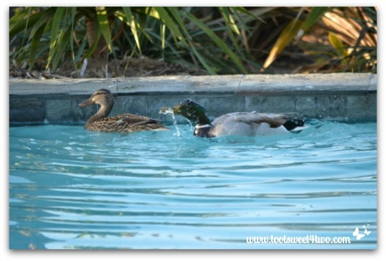 Pic 9 - Mallard shaking water from his head - Paradise Found