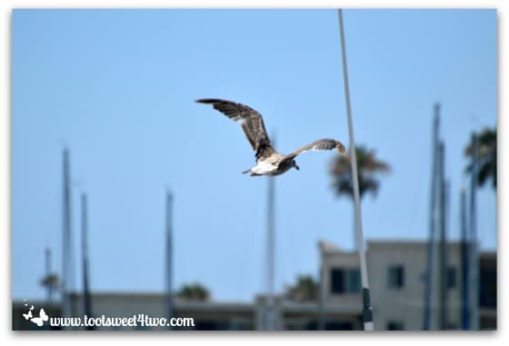 Seagull flying over Oceanside Harbor
