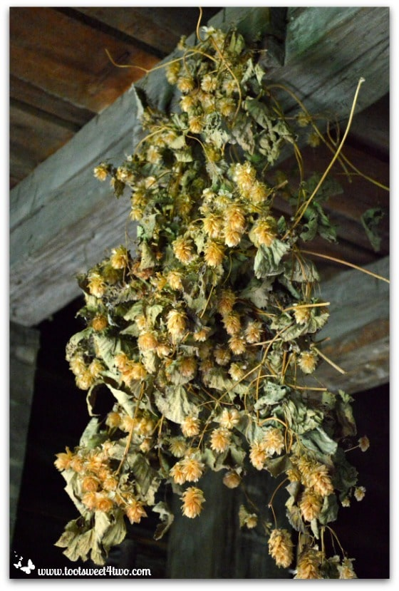 Hops drying in Grieve's Brewery at Genesee Country Village