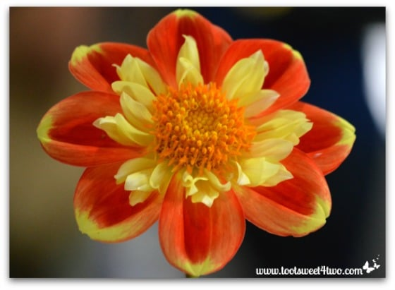 Orange Dahlia - 17 Awesome Things I'm Sweet On in September 2014
