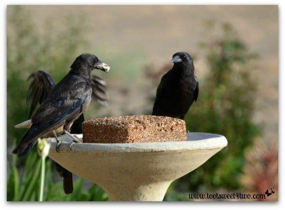 Crows in our bird bath