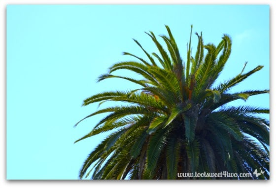 Top of palm tree in Presidio Park San Diego