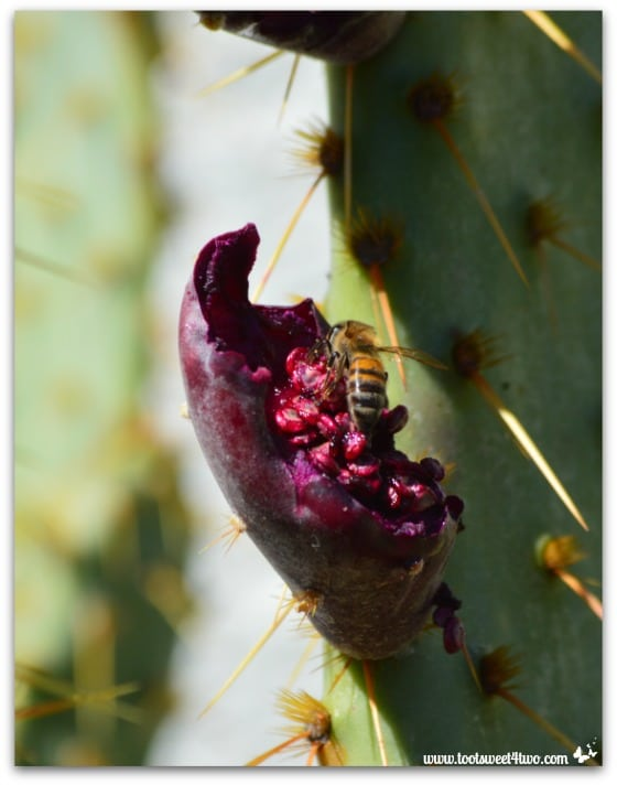 Bee eating prickly pear cactus fruit - Mission Santa Ysabel