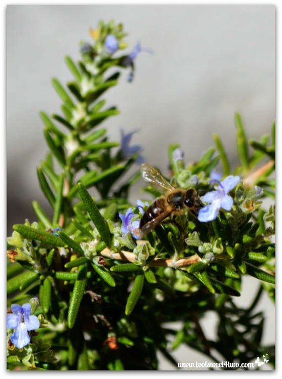 Bee in the rosemary at Mission Santa Ysabel