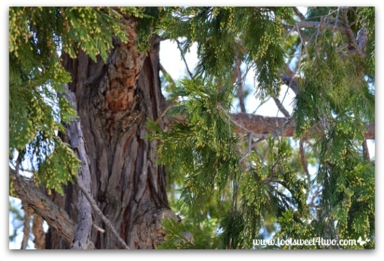 California Incense Cedar - Mission Santa Ysabel