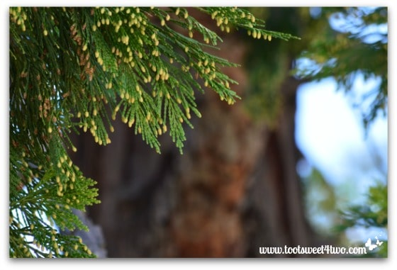 California Incense Cedar foliage - Mission Santa Ysabel