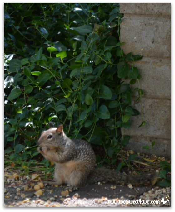Squirrel munching - Mission Santa Ysabel