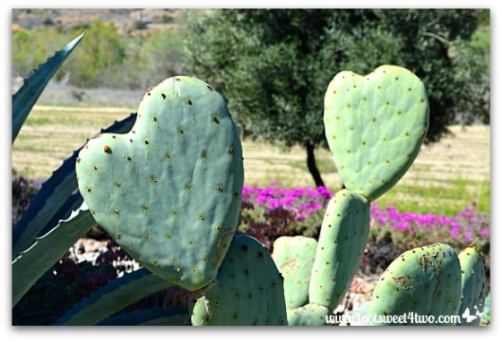 Heart-shaped cactus - 14 Awesome Things