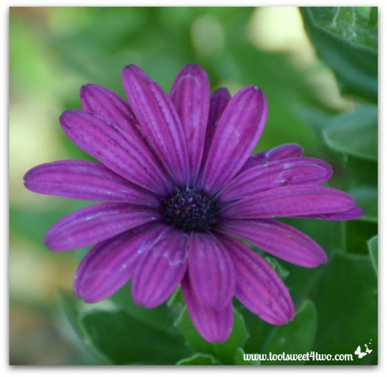 Purple Osteospermum flower