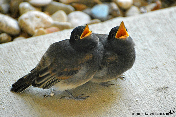 Baby birds with open mouths