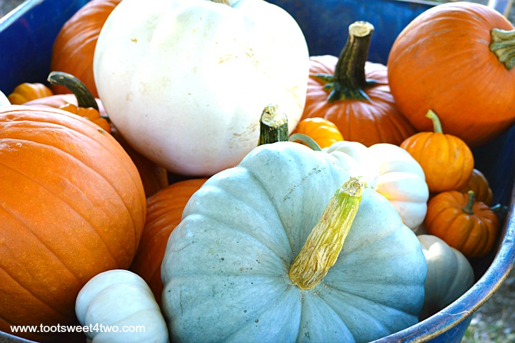Jarrahdale Pumpkin with other pumpkins in a wheelbarrow