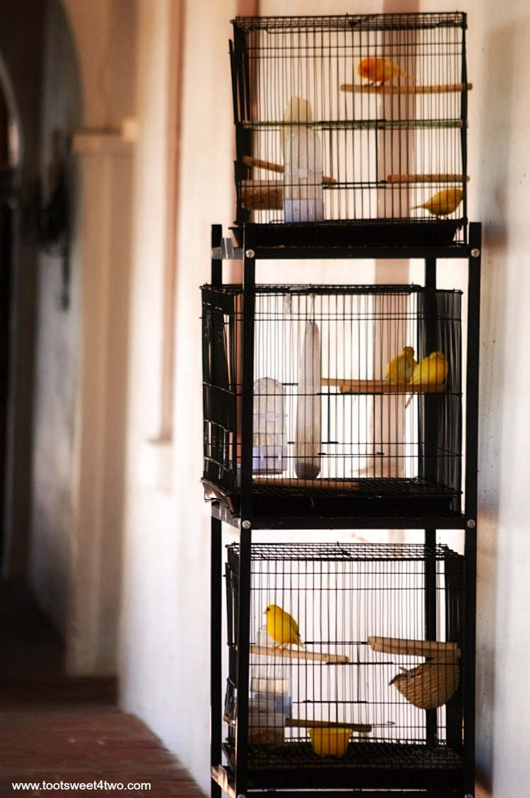 Canaries at Mission San Luis Rey de Francia