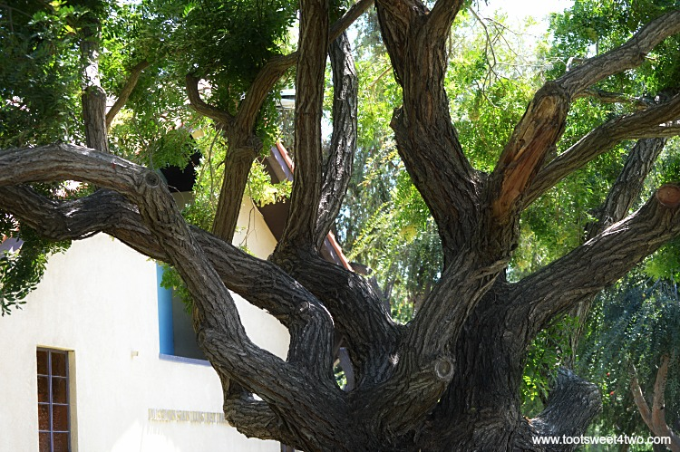 Beautiful tree trunk at Old Mission San Luis Rey Gardens
