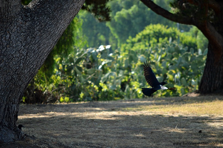 Crow flying at Old Mission San Luis Rey Gardens
