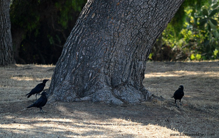 Crows at Old Mission San Luis Rey Gardens