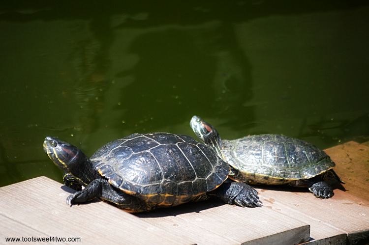 Two turtles sunning in Koi Pond at Old Mission San Luis Rey Gardens