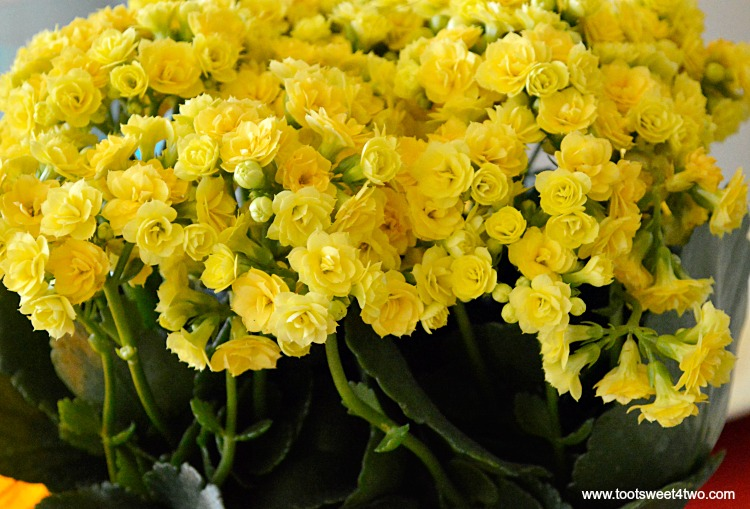 Yellow Kalanchoe Flowers for Decorating the Table for a Cinco de Mayo Celebration