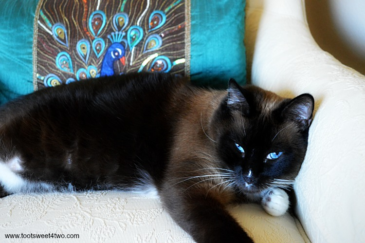 Meet Coco - our beautiful Snowshoe Siamese cat - a boy named Coco. See more photos of Coco at www.tootsweet4two.com.