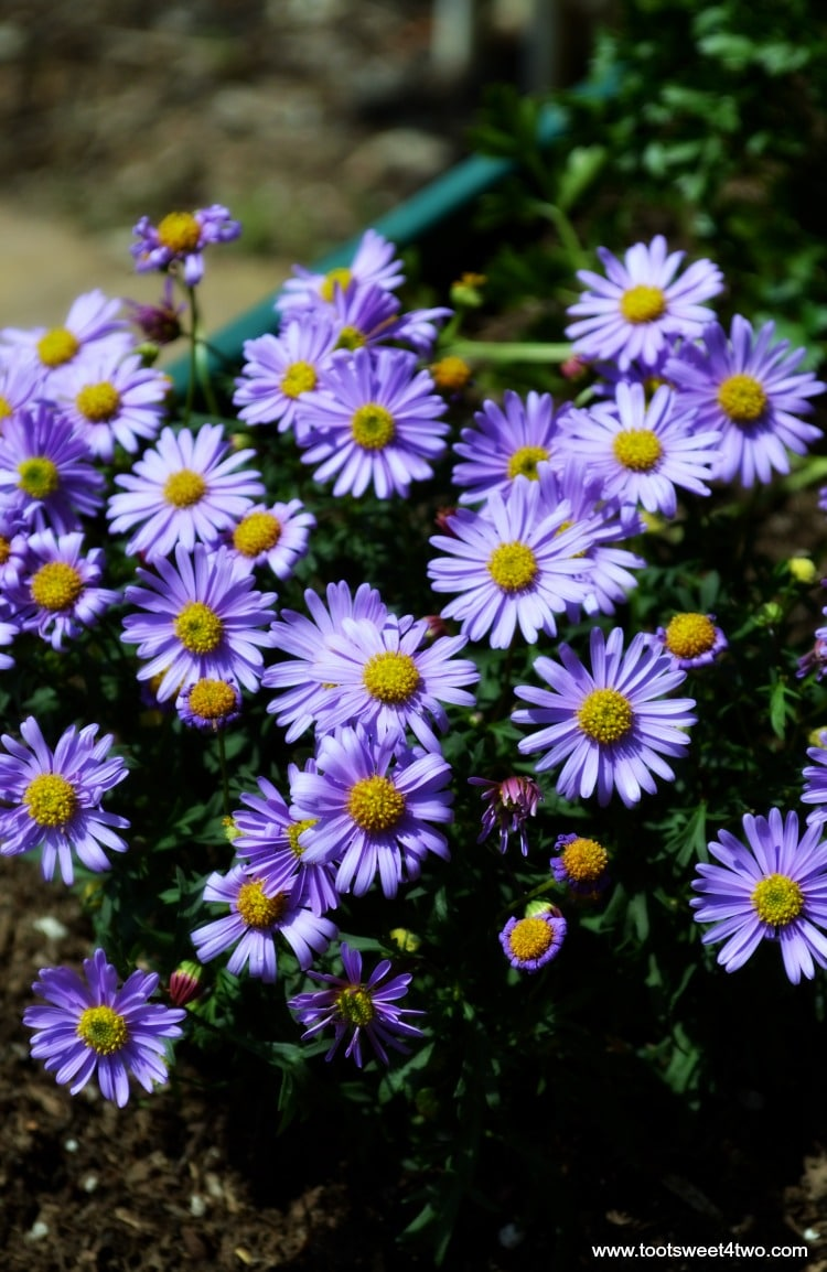 Purple Asters in Miniature Fairy Garden