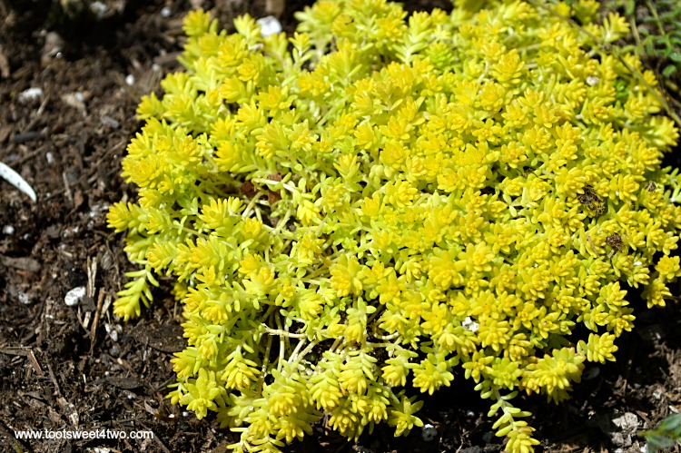 Sedum De Oro Gold Moss in Miniature Fairy Garden