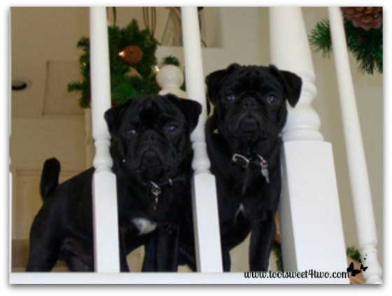 Baby Pugs Sid and Samson when they were 3 months old