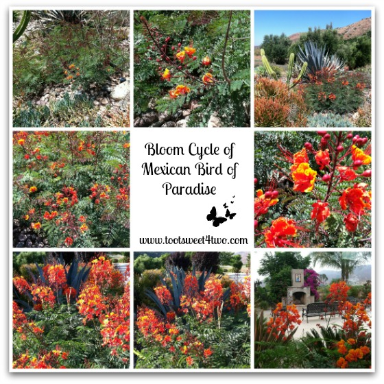 Bloom cycle of Mexican Bird of Paradise - Orange Crush