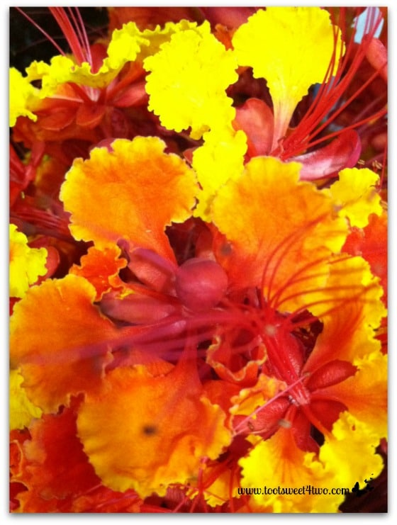 Close-up of flowers and stamens of Mexican Bird of Paradise - Orange Crush