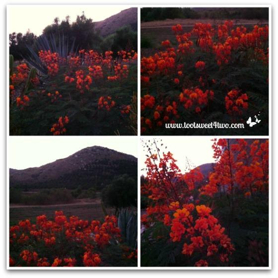 Mexican Bird of Paradise in the Twilight - Orange Crush