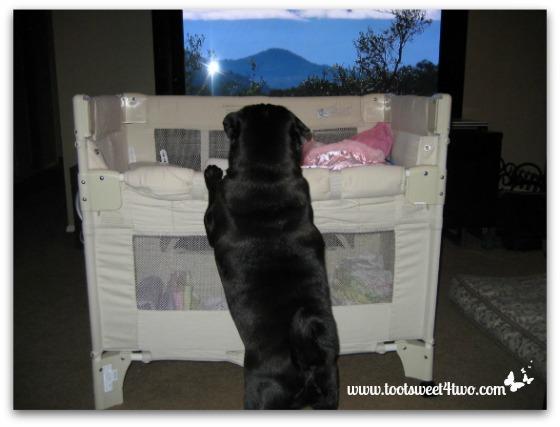 Our black pug, Samson, checking our newborn Princess P