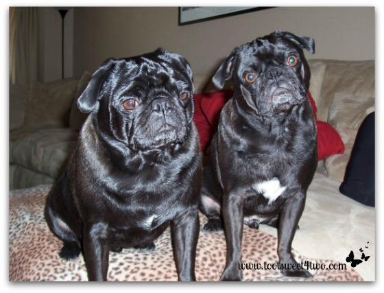 Our black pugs, Sid and Samson, on the sofa