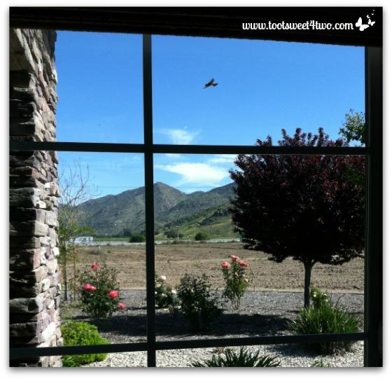 Cliff Swallow flying outside my office window - Exaltation of Larks