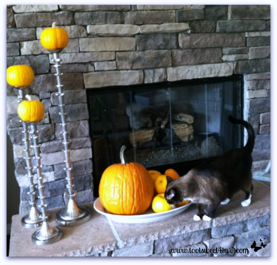 Coco sniffing pumpkins